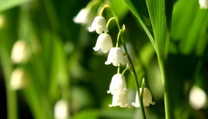 LILY OF THE VALLEY clip 2